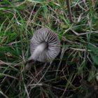 Dermoloma cuneifolium