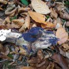 Terana caerulea - Cobalt Crust