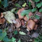 Cortinarius sp