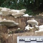 10 Lumpy bracket Trametes gibbosa (1)