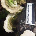 10 Lumpy bracket Trametes gibbosa (2)