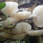 15 Porcelain fungus Oudemansiella mucida