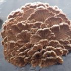 Splitgill - Schizophyllum commune