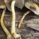 20 Sulphur tufts Hypholoma fasciculare