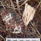 Upright coral Ramaria flaccida