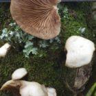7 Peeling Oysterling Crepidotus mollis