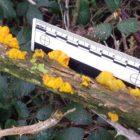 Yellow brain Tremella mesenterica